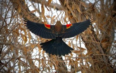 Redwing | A Poem by James Scott Smith